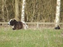 Jacob's Ewe and Lamb
