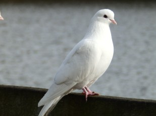 Dove at Rufford Abbey