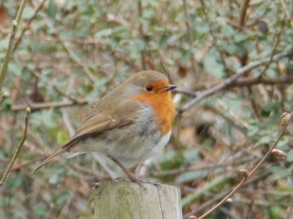 Robin at Arnot Hill Park