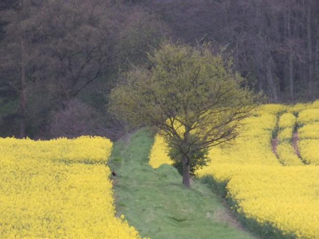 Tree, rapeseed and a pheasant