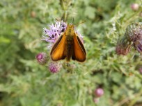 Large Skipper at East Leake