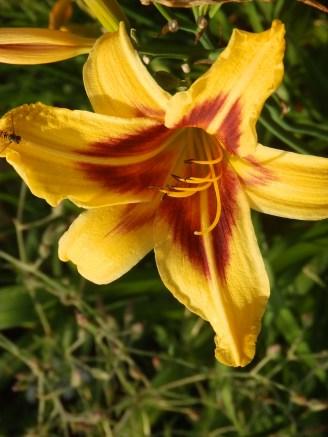 Day Lily at Mencap garden