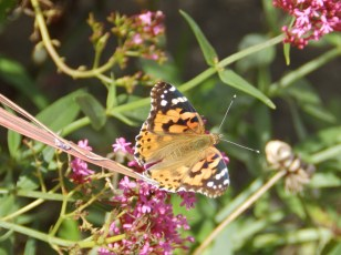 Painted Lady - Sherwood, Notts