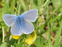 Common Blue at Screveton