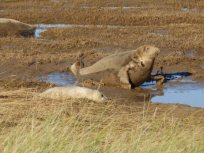 Seal and pup, Donna Nook, Lincolnshire