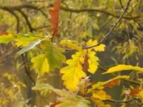 Oak leaves at Clumber