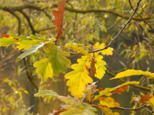 Oak leaves at Clumber