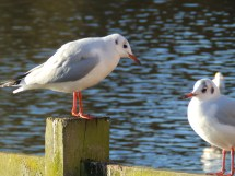 Black-headed Gulls at Rufford