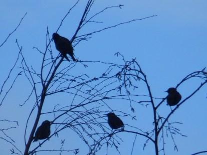 Starlings at Slaidburn