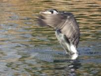 Cormorant on the duck pond