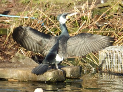 Cormorant at Arnot Hill