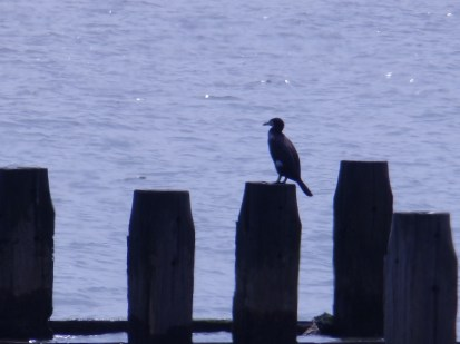 Cormorant, Lowestoft, Suffolk