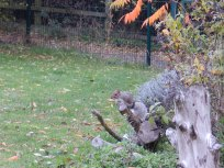 Squirrel in MENCAP gardens, Wilford