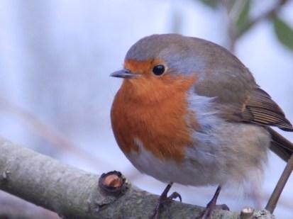 Robin at Clumber, Nottinghamshire
