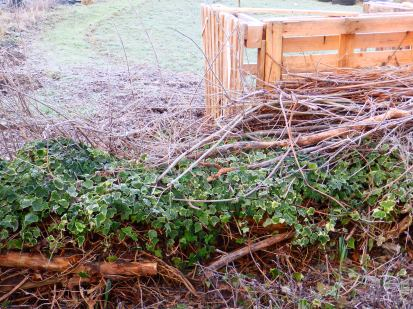 "Ivy and brushwood ""hedge"""