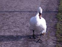 Mute Swan Carsington Water