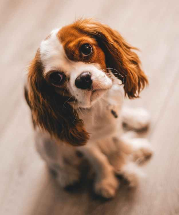 shallow focus photography of a cavalier king charles spaniel