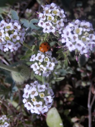 Allysum with ladybird