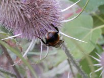 Bumblebee bottom