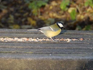 Great tit - Rufford Abbey