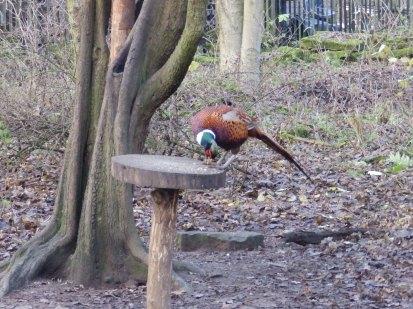 Pheasant on bird table