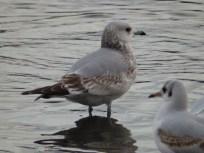 immature Common gull