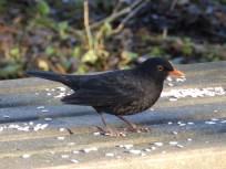 Blackbird on picnic table - Rufford Abbey