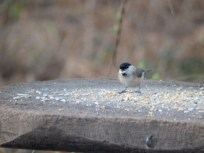 Marsh Tit in Sherwood Forest