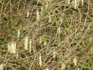 Catkins at Rufford - Landscape setting