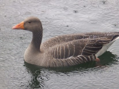 Greylag Goose - Arnold