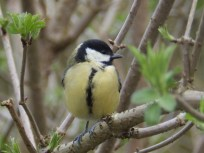 Great Tit in the Woods at Rufford Abbey