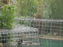 Moorhen chick in cage - Arnot Hill Park