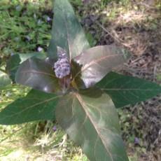 Asclepias_cordifolia_purple_milkweed_Jenkins_040616