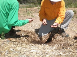Finding healthy soil under mulch at Tijeras
