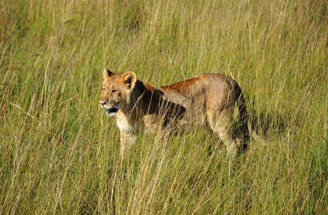 Soñar con leones que persigue un niño