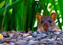 Soñar con ratas que te persiguen