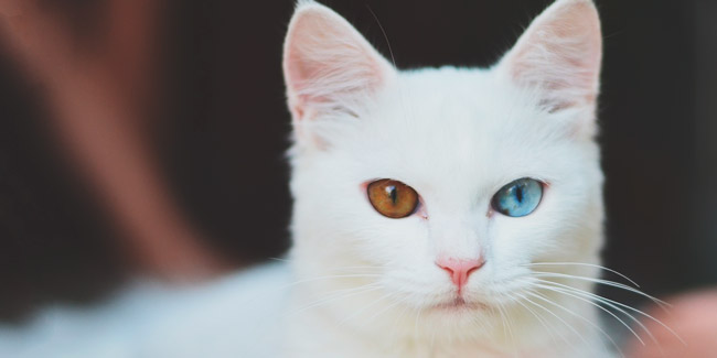 Soñar con gato blanco