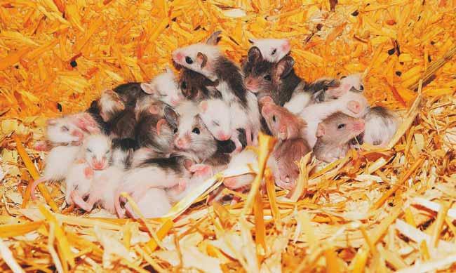 Soñar con muchos ratones pequeños