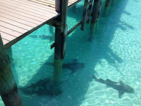 Sharks at Compass Cay