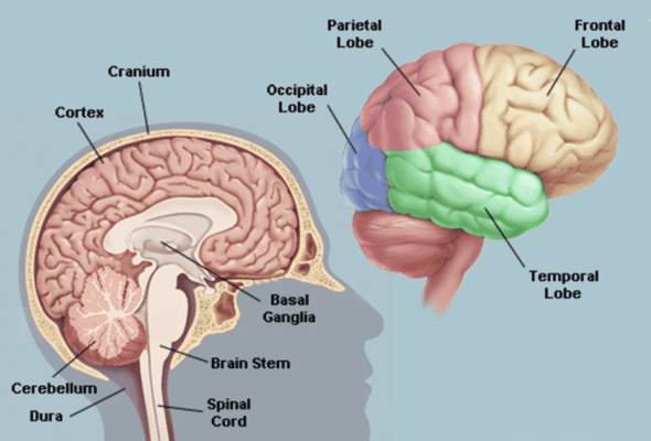 Parts of the brain that causes flashbacks