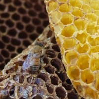 Saving the Honey Bees-one swarm at a time