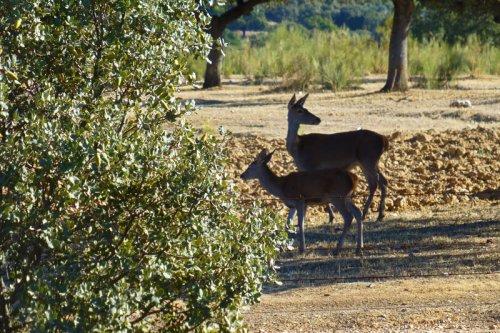 Los ciervos son los mamíferos que más llaman la atención dentro del P. N. de Monfragüe