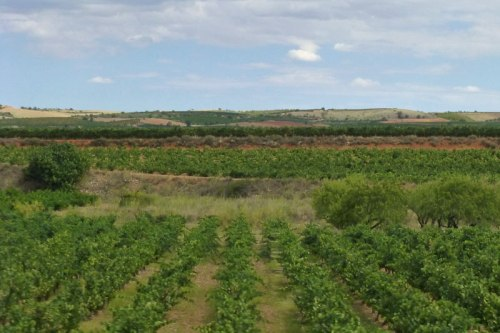 Viñedos de Cariñena, qué comer en Zaragoza