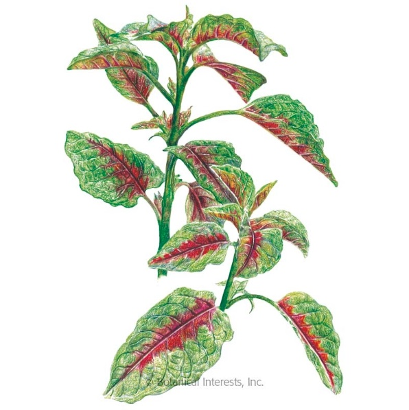 Amaranth Artwork, Courtesy of Botanical Interests