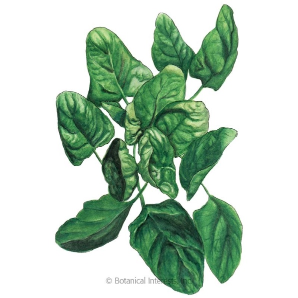 Lavewa Spinach, Image Courtesy Botanical Interests