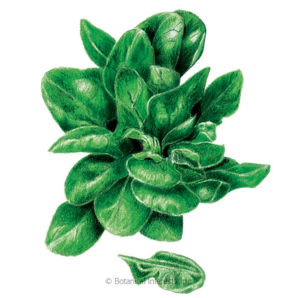 Matador Spinach, Image Courtesy Botanical Interests