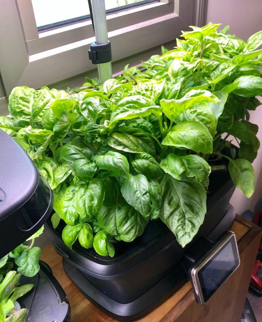 Aerogarden Bounty Growing Basil, 1 Month Growth