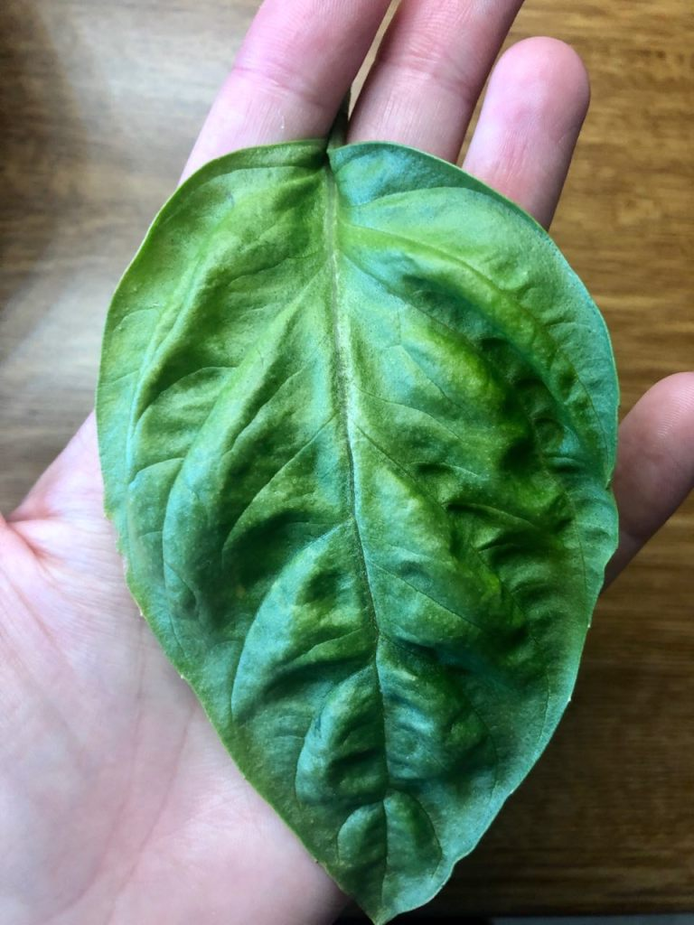Size of Basil Leaves from Aerogarden Bounty, 1 Month Growth