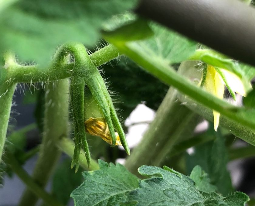 Flowers on San Marzano Tomatoes at 6 Weeks, Grown In Kratky Hydroponics