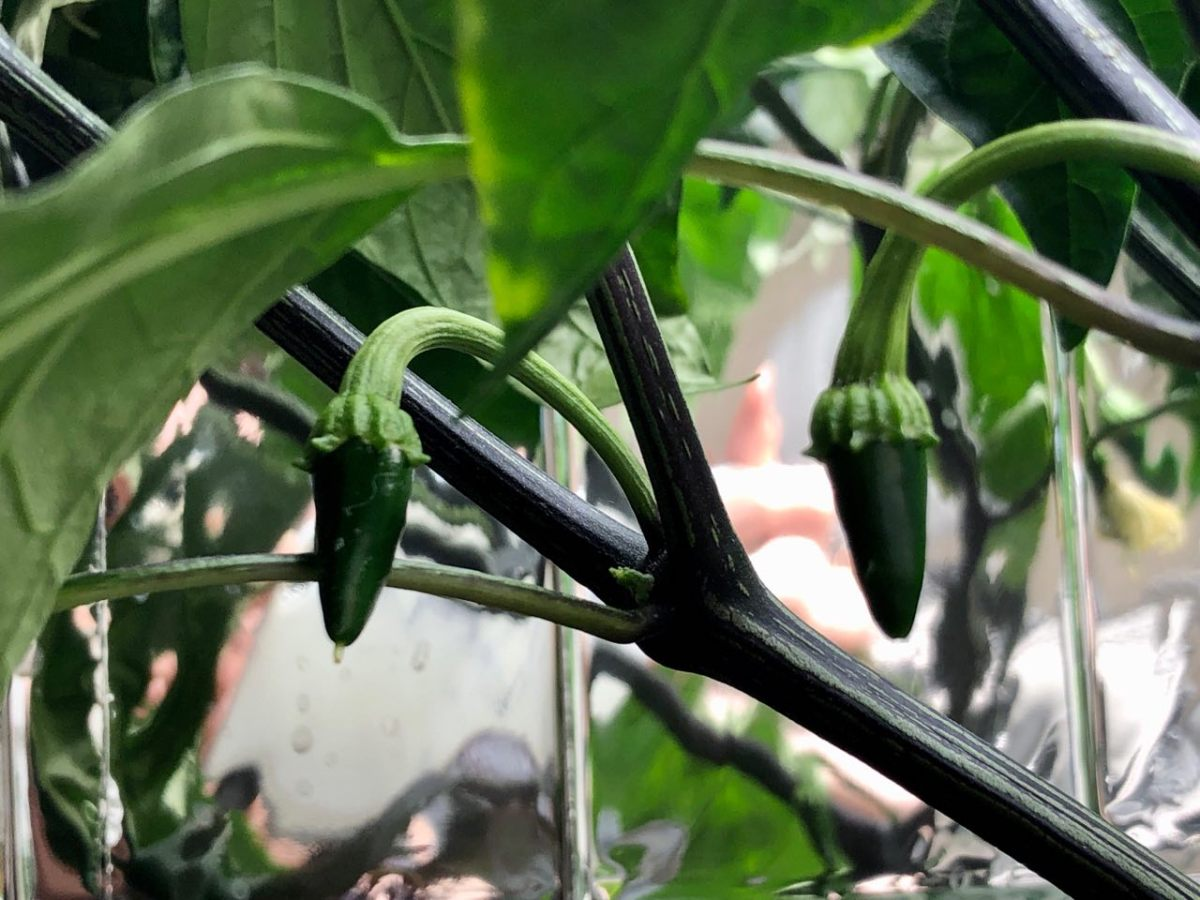 Growing Jalapeño Peppers in Kratky Hydroponics – Update Week 7